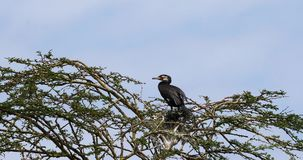 Reed Cormorant or Long-Tailed Cormorant, phalacrocorax africanus, Adult on the Top of a Tree, Naivasha Lake,. Real Time 4K stock footage