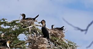Reed Cormorant or Long-Tailed Cormorant, phalacrocorax africanus, Nesting on the Top of a Tree, Naivasha Lake,. Real Time 4K stock video footage