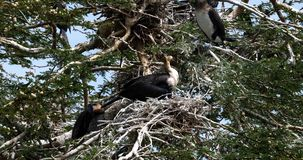 Reed Cormorant or Long-Tailed Cormorant, phalacrocorax africanus, Nesting on the Top of a Tree, Naivasha Lake,. Real Time 4K stock video