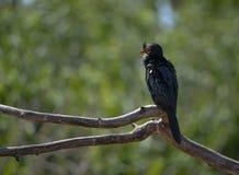 Reed Cormorant no ramo inoperante Imagem de Stock
