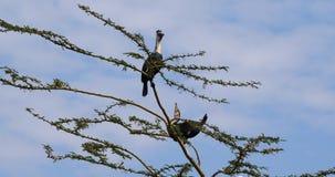 Reed Cormorant ou cormorão de cauda longa, africanus do phalacrocorax, par na parte superior de uma árvore, corte que indica, lag filme