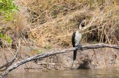 Reed Cormorant Royalty Free Stock Photo