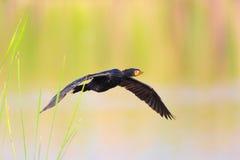 Reed Cormorant (Phalacrocorax africanus) Stock Photo