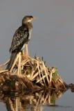 Reed cormorant, Phalacrocorax africanus Stock Images