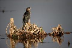 Reed cormorant, Phalacrocorax africanus Royalty Free Stock Photo