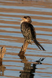 Reed cormorant, Phalacrocorax africanus Royalty Free Stock Images