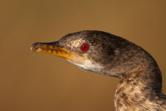 Reed cormorant portrait. Common. Freshwater associated. Blackish body, striking red eyes, webbed feet.  Often observed sunning itself with outstretched wings Royalty Free Stock Photo