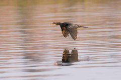 Reed cormorant with reflection in water Royalty Free Stock Photography