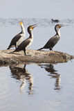 Reed Cormorants in Kenya Stock Images