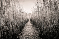 Reed corridor Royalty Free Stock Image
