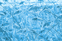 Reed covered with frost. Stock Images