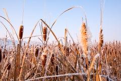 Reed Covered With Ice In de de Wintertijd Stock Afbeelding