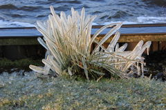 Reed covered with ice. Due to the strong wind, the water was blown over the reeds. This froze due cold conditions Royalty Free Stock Images