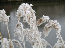 Reed covered in ice Royalty Free Stock Photos