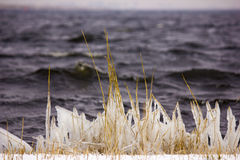 Reed. Covered with ice Stock Photography