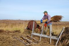 Reed cutter at work. royalty free stock image