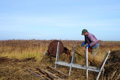 Reed cutter at work. stock photo