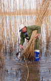 Reed cutting in the Netherlands Stock Photography