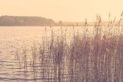 Reed da un'alba del lago di mattina Fotografia Stock Libera da Diritti