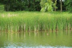 Reed dans l'étang Image stock