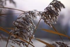 Reed dans le macro de vent photographie stock libre de droits