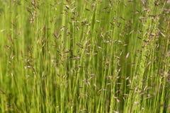 Reed dans le vent Photographie stock libre de droits