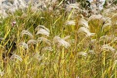 Reed dans le vent Photos stock