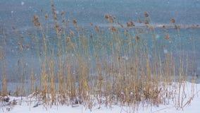 Reed dans le vent et la neige images stock