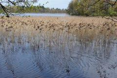 Reed dans un lac en Pologne du nord avec des branches d'arbre un jour ensoleillé au printemps Images stock