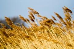 Reed, das in den Wind wellenartig bewegt stockbilder