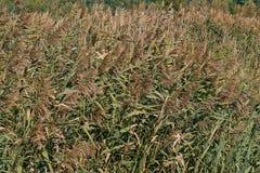 Reed, das in Herbst wellenartig bewegt lizenzfreies stockfoto