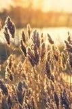 Reed at dawn. Royalty Free Stock Images