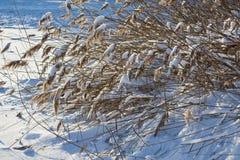Reed debajo de la nieve Foto de archivo libre de regalías