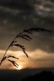 Reed delante de la puesta del sol Imágenes de archivo libres de regalías