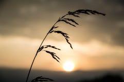 Reed delante de la puesta del sol Fotografía de archivo libre de regalías