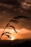 Reed delante de la puesta del sol Foto de archivo libre de regalías