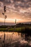 Reed delante de la puesta del sol Fotos de archivo libres de regalías