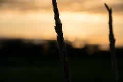 Reed delante de la puesta del sol Imagen de archivo