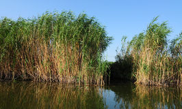 Reed. Delta of Danube Romania Royalty Free Stock Photography