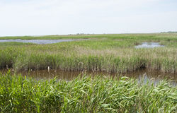 Reed in delta Stock Image