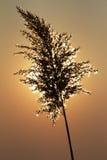 Reed in der Sonne lizenzfreies stockbild