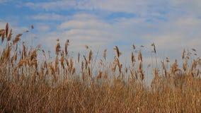 Reed derruba mover-se no vento durante a mola com um céu azul video estoque