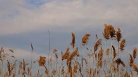 Reed derruba mover-se no vento durante a mola com um céu azul filme