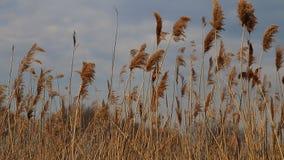Reed derruba mover-se no vento durante a mola com um céu azul vídeos de arquivo