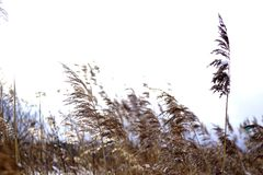 Reed detail and gray sky - winter time. Trebonsko, South Bohemia royalty free stock images