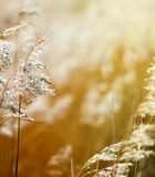 Reed. Detail of some flowering reed and grass plants with ripe seeds bending in the wind Stock Image