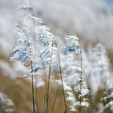 Reed. Detail of some flowering reed and grass plants with ripe seeds bending in the wind Royalty Free Stock Photos