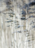 Reed. Detail of some flowering reed and grass plants with ripe seeds bending in the wind Stock Photography