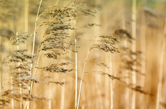 Reed. Detail of some flowering reed and grass plants with ripe seeds bending in the wind Royalty Free Stock Images