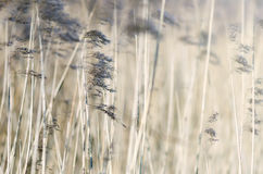 Reed. Detail of some flowering reed and grass plants with ripe seeds bending in the wind Royalty Free Stock Photo
